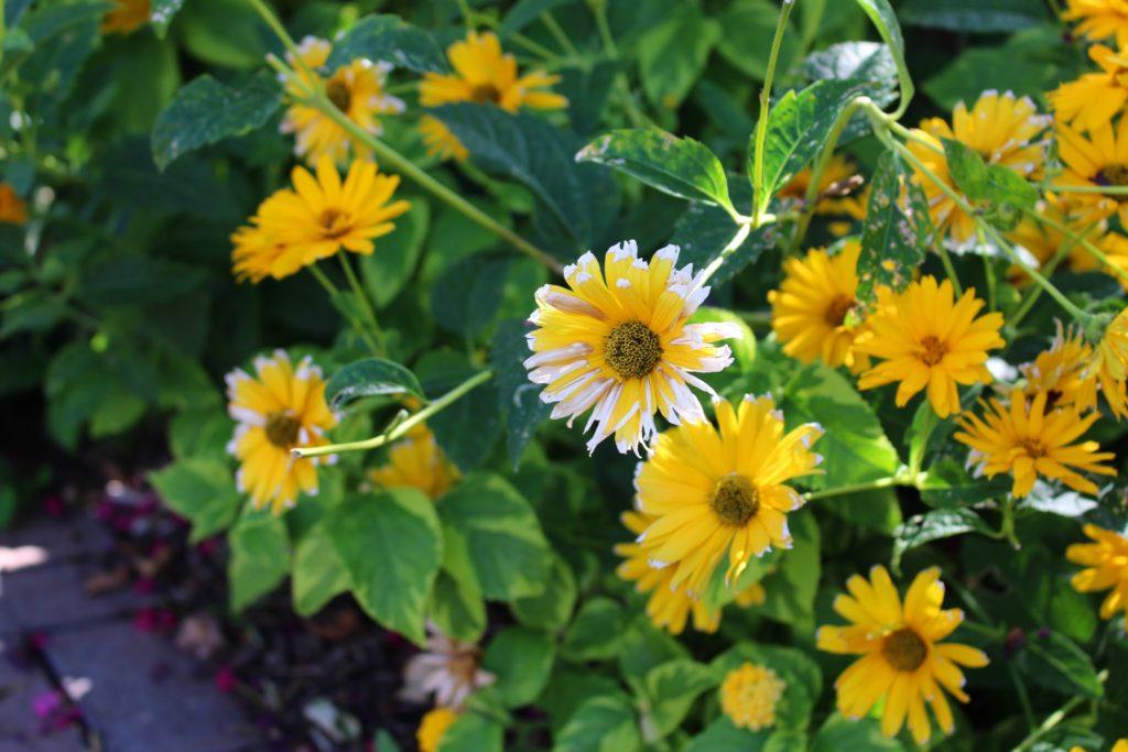 sun-flowers-candace-carter